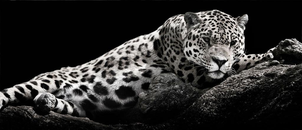 Schneeleparden-1